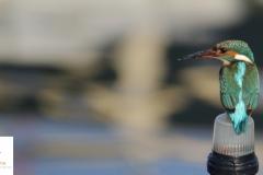 Martín pescador / Kingfisher (Alcedo atthis)