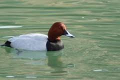 Porrón europeo / Common Pochard (Aythya ferina)