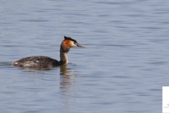 Somormujo lavanco / Great Crested Grebe (Podiceps cristatus)