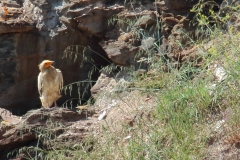 Alimoche/ Egyptian vulture/ (Neophron percnopterus)