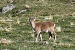 Cabra montés / Wild Goat.
