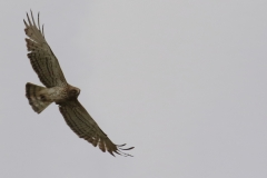 Águila culebrera (Circaetus gallicus) /Short -toed eagle
