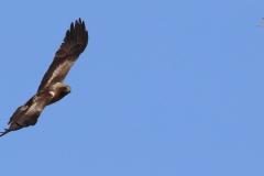 Águila calzada (Hieraaetus pennatus) / Booted eagle