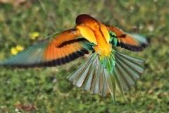 Abejaruco común (Merops apiaster)/ European Bee-eater