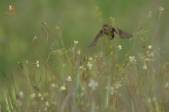 Curruca carrasqueña (Sylvia cantillans)/Subalpine warbler