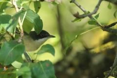 Curruca mirlona (Sylvia hortensis) /Western orphean warbler