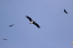 Cigüeña negra / Black stork (Ciconia nigra)