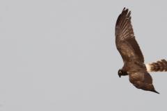 Aguilucho cenizo hembra / Montagu´s harrier female (Circus pygargus)