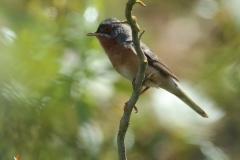Macho de  curruca carrasqueña /  Subalpine warbler (Sylvia cantillans)