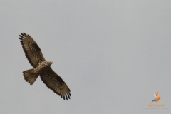Abejero europeo / European Honey Buzzard (Pernis aviporus)
