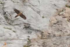 Quebrantahuesos/ Lammergeiger (Gypaetus barbatus)