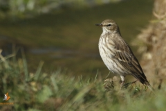 Bisbita alpino / Water pipit (Anthus spinoletta)