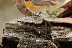 Colirrojo real/ Common redstart/ (Phoenicurus phoenicurus)