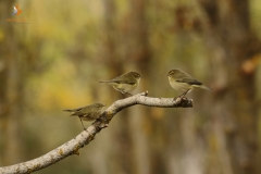 Mosquiteros comunes / Common chiffchaff (Philloscopus collybita)
