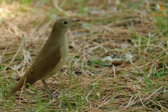 Ruiseñor común / Common nightingale (Luscinia megarynchos)