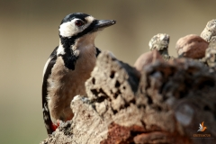 Pico picapinos / Great spotted woodpecker (Dendrocopos major)