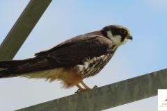 Alcotán / Eurasian hobby (Falco subbuteo)