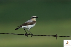 Collalba gris/ Northern wheatear (Oenanthe oenanthe)