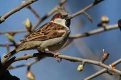Gorrión común/ House Sparrow (Passer domesticus)