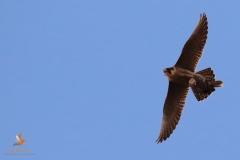 Halcón peregrino/ Peregrine falcon (Falco peregrinus)