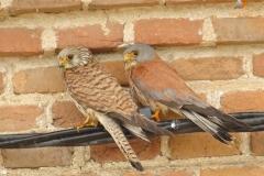 pareja cernícalos primillas/ Lesser kestrel couple