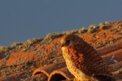 Hembra de cernícalo primilla/ Female lesser kestrel