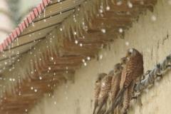 Cernícalos primillas/ Lesser kestrel