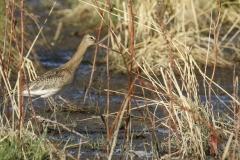 Aguja colinegra/ Black-tailed godwit (Limosa limosa)