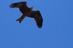 Milano negro (Milvus migrans) /Black kite