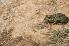 Rana verde (Pelophylax perezi)