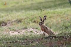 Liebre ibérica (Lepus granatensis) / Iberian Hare