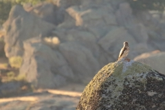 Águila Culebrera (Circaetus gallicus) / Short - Toed Eagle