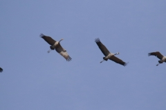 Grulla común / Common Crane (Grus grus)