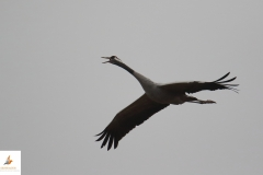 Grulla / Common Crane (Grus grus)
