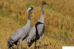 Adulto y juvenil de Grulla / Grulla / Adult and juvenile Common Crane (Grus grus)