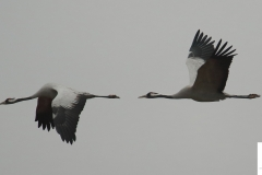 Grullas / Common Crane (Grus grus)