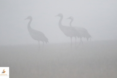 Grullas / Common Cranes (Grus grus)