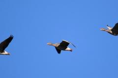 Ánsares comunes (Anser anser) / Greylag goose