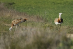 Avutardas / Great bustards