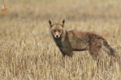 Zorro (Vulpes vulpes)/ Fox