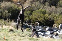 Cabra montés (Capra pyrenaica) / Wild Goat