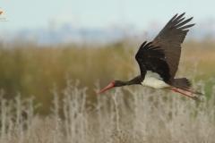 Cigüeña negra (Ciconia nigra) /Black Stork