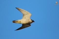 Halcón peregrino (Falco peregrinus) /Peregrine falcon