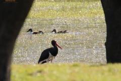 Cigüeña negra (Ciconia nigra)/ Black stork