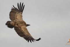 Buitre leonado (Gyps fulvus) /Griffon vulture