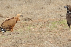 Buitre leonado y Buitre negro / Griffon vulture and Black vulture