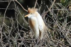 Garcilla bueyera (Bubulcus ibis) /Cattle egret