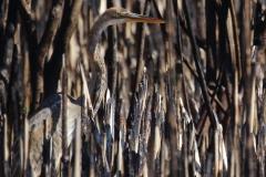 Garza imperial (Ardea purpurea) / Purple heron