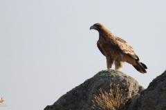 Águila imperial ibérica (Aquila heliaca adalberti) / Spanish Imperial Eagle