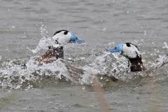 Malvasía cabeciblanca (Oxyura leucocephala) / White -Headed Duck